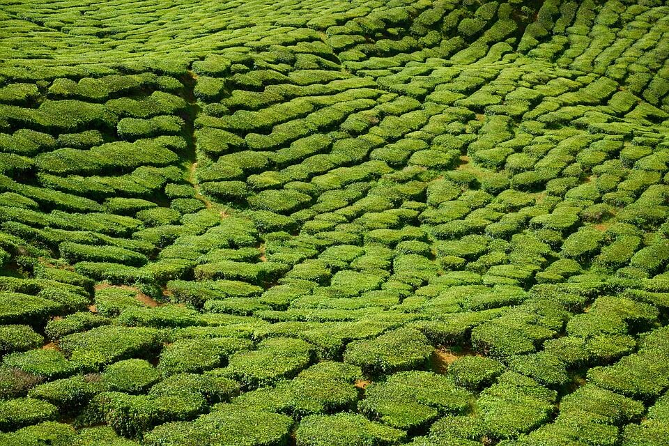 abnehmen für faule grüner tee